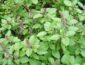manfaat daun kemangi untuk kecantikan kulit wajah