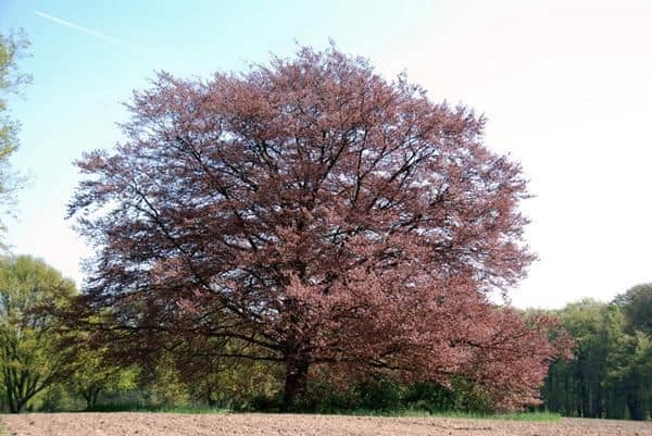 Ekstrak Pohon Beech