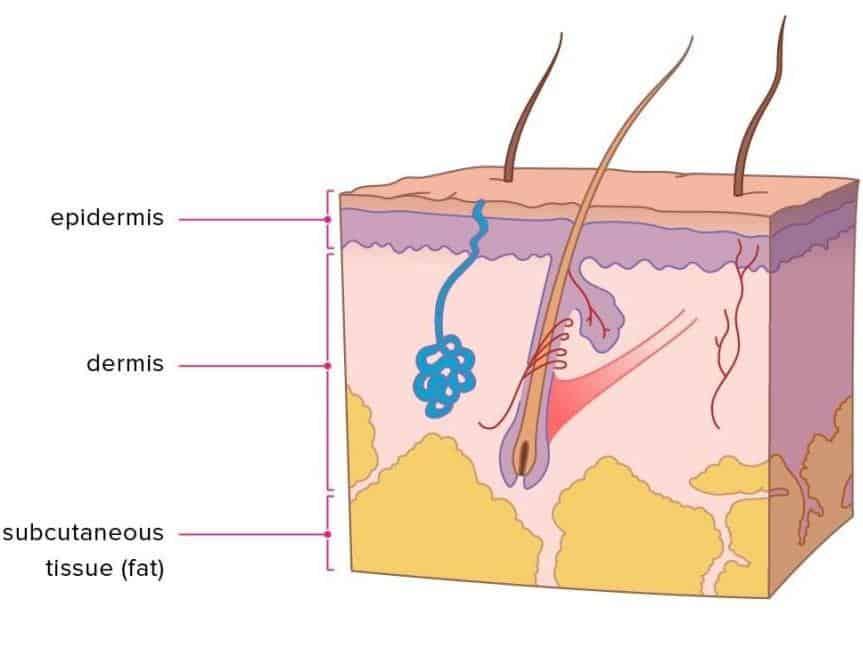 Skin Layer